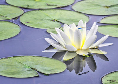 Photograph - Water Lily And Dragon Fly by Peg Runyan