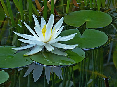 Water Lily And Reflection Art Print by Pete Trenholm