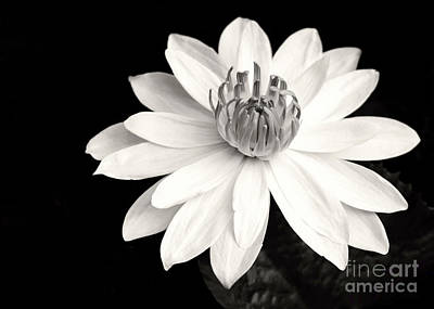 Photograph - Water Lily Ballerina by Sabrina L Ryan