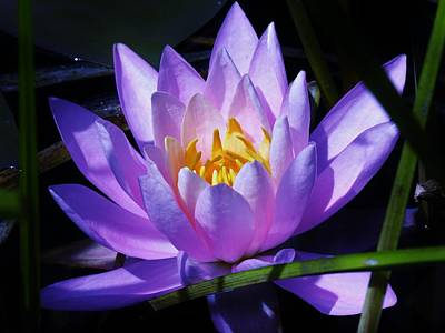 Water Lily Blues Art Print by Sherman Perry