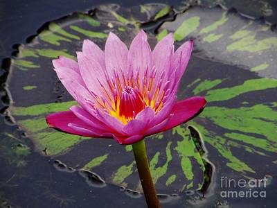 Water Lily Art Print by Cynthia Merino