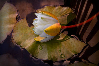 Flowers And Water Drops Wall Art - Photograph - Water Lily by Debra and Dave Vanderlaan