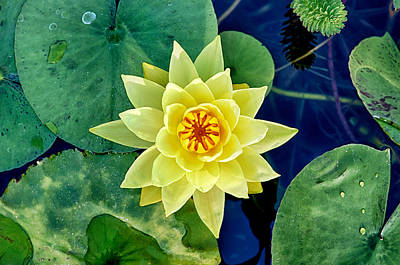 Photograph - Yellow Water Lily by Fabrizio Troiani