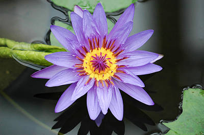 Photograph - Water Lily From Above. by Rob Huntley