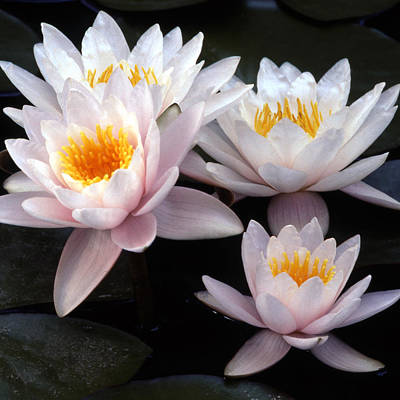 Photograph - Water Lily Group by Harold Rau