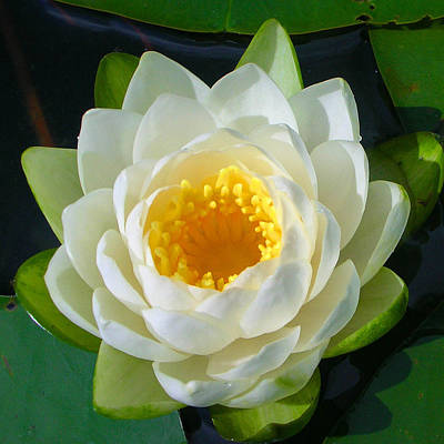 Photograph - Water Lily by Guy Whiteley