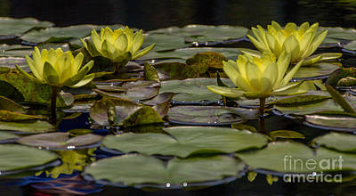 Water Lily II Art Print by Ursula Lawrence