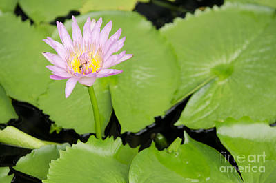 Photograph - Water Lily In Garden Pond by Jacek Malipan