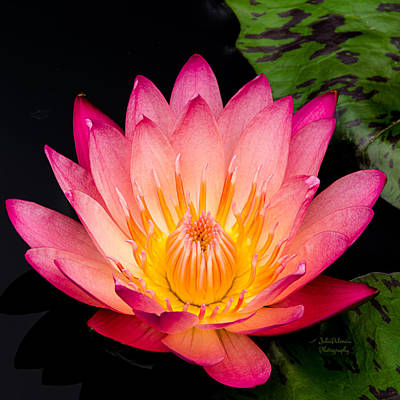 Photograph - Water Lily In Pink Squared by Julie Palencia