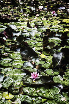 Pink Water Lily Photograph - Water Lily by Joana Kruse