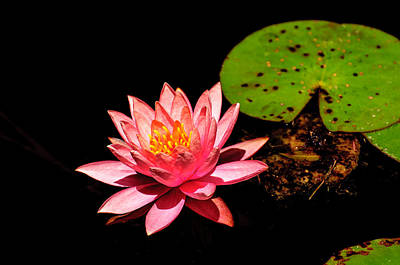 Photograph - Water Lily by John Johnson