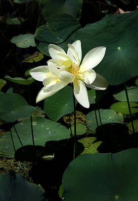 Photograph - Water Lily by Joseph G Holland