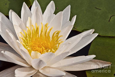 Water Lily Print by K Hines
