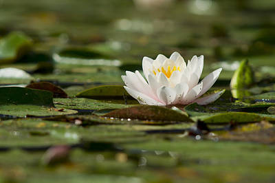 Water Lily Art Print by Larry Bohlin