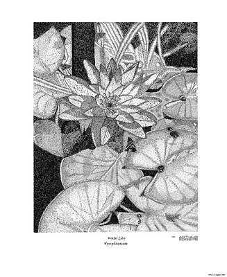 Drawing - Water Lily Nymphaeacea by Arthur Eggers
