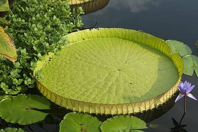 Water Lily Pad Longwood Original