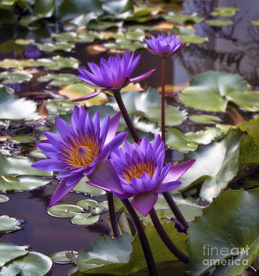 Photograph - Water Lily Quartet by Karen Lewis