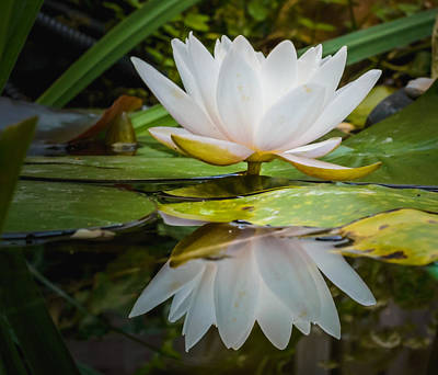 Photograph - Water-lily Reflection by Yvon van der Wijk