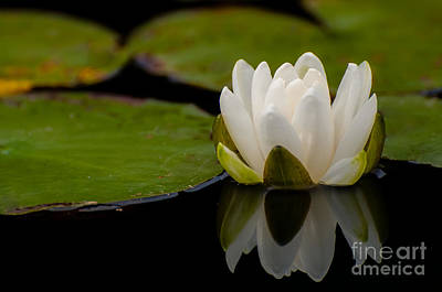 Photograph - Water Lily Reflections by Bianca Nadeau