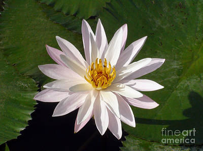 Art Print featuring the photograph Water Lily by Sergey Lukashin