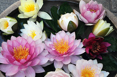 Art Print featuring the photograph Water Lily Series -2  by Haleh Mahbod
