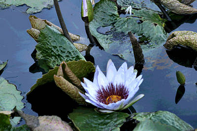 Photograph - Water Lily by Sharon McLain