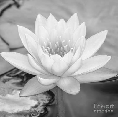 Photograph - Water Lily Square by Sabrina L Ryan