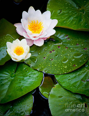 Lilies Royalty-Free and Rights-Managed Images - Water Lily Study by Inge Johnsson