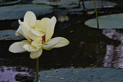 Photograph - Water Lily Unfolding by Nadalyn Larsen