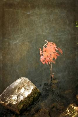 Photograph - Water Maple by Michelle Calkins