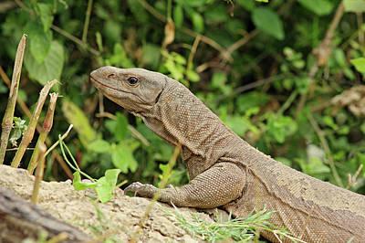 Waist Beads Photograph - Water Monitor Lizard,keoladeo National by Jagdeep Rajput