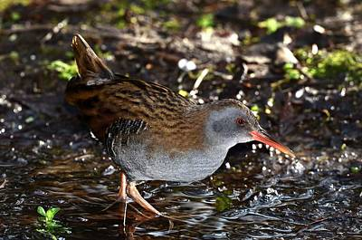 Water Rail Art Print by Colin Varndell