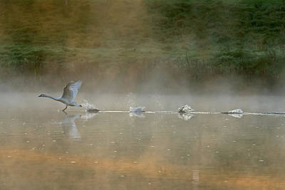 Swan Wall Art - Photograph - Water Runner by Elisabeth Wehrmann