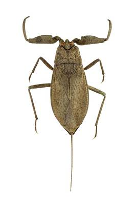 Caudal Photograph - Water Scorpion by F. Martinez Clavel