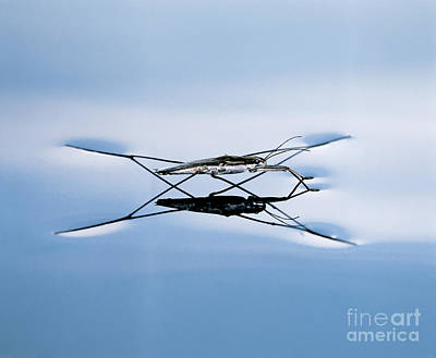Photograph - Water Strider by Hermann Eisenbeiss