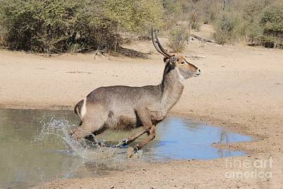 Amy Weiss - Waterbuck Bull Escape by Hermanus A Alberts