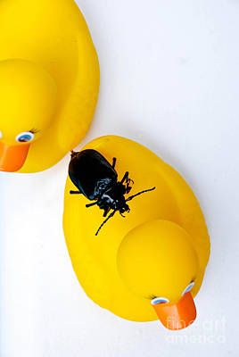 Waterbug On Rubber Duck - Aerial View Art Print