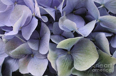Photograph - Watercolor Hydrangea 3 by Kathi Shotwell