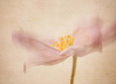 Anemone Photograph - Watercolour Whispers by Amy Weiss