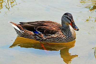 Photograph - Waterfowl by John Flack