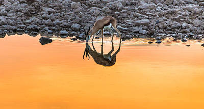 Horned Drawing - Waterhole Sunset - Springbok Antelope Photograph by Duane Miller