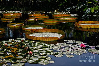 Waterlilies All Art Print by Byron Varvarigos