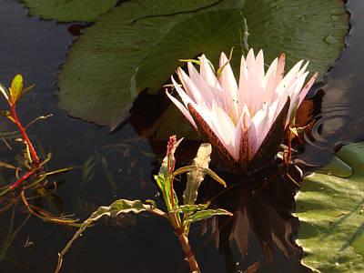 Photograph - Waterlilly 2 by Karen Zuk Rosenblatt