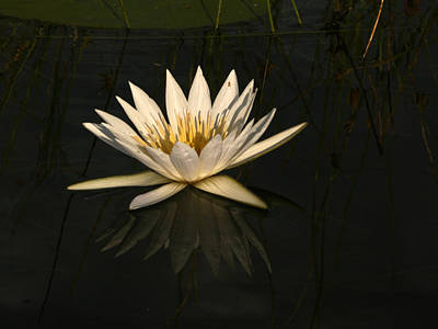 Photograph - Waterlilly 6 by Karen Zuk Rosenblatt