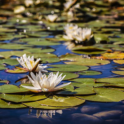 Photograph - Waterlily by Alfio Finocchiaro