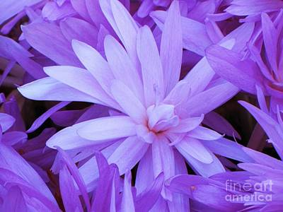 Waterlily Crocus Art Print by Michele Penner