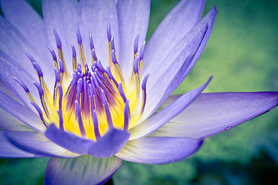 Photograph - Waterlily Dreams 12 by Priya Ghose