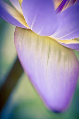 Photograph - Waterlily Dreams 8 by Priya Ghose