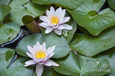 Photograph - Waterlily Duo by Brenda Kean