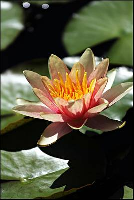 Waterlily Art Print by Jp Grace